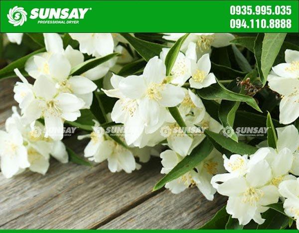 Hoa nhài với màu sắc và hương thơm đặc trưng
