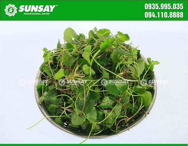 Rau má tươi sạch được dùng để sản xuất bột rau má