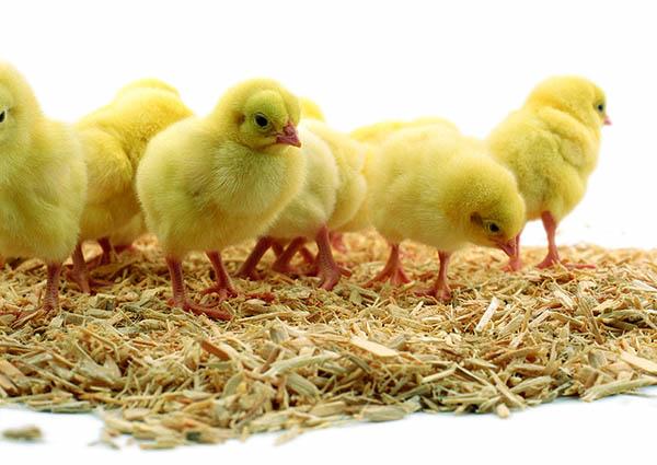Ứng dụng mùn cưa trong ngành chăn nuôi